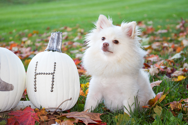 Mango the Pom poses with the pumpkins