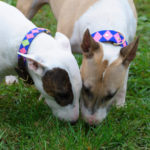 Stylish Collars for the Horse Show Dog